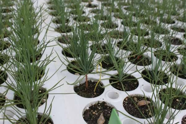 О выращивании кедра сибирского из семян и качестве посадочного материала. - forestru - всё о российских лесах
