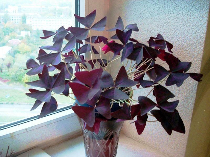 Кислица, или оксалис — чуткие «бабочки» на подоконнике