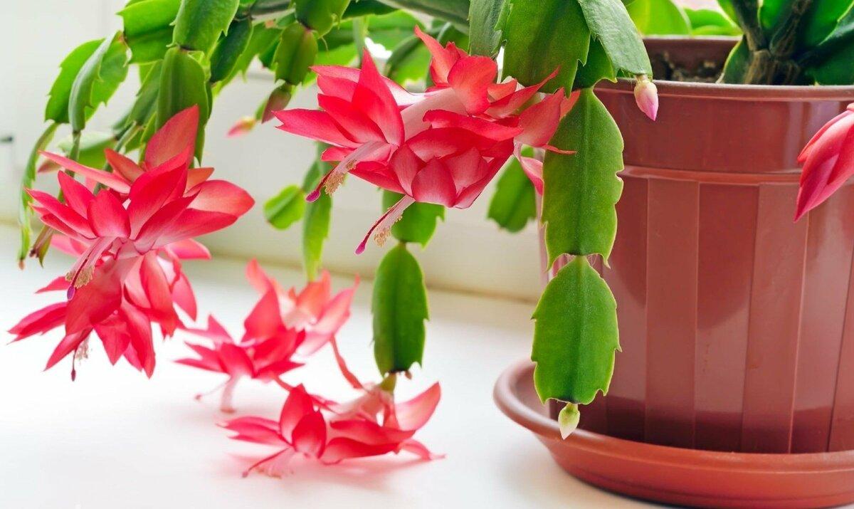 Домашний цветок декабрист (shhlumbergera buckleyi): уход и выращивание