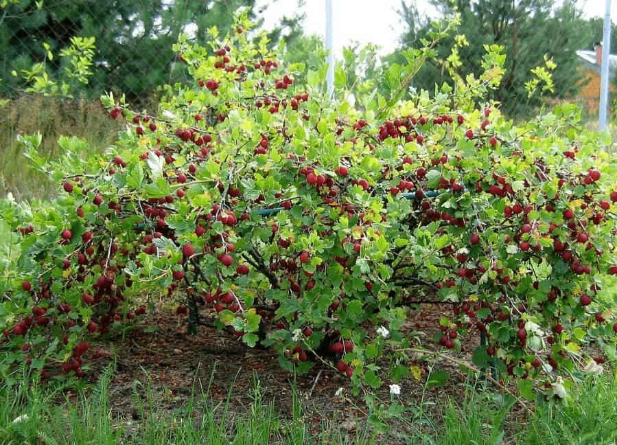 Почему не цветет и не плодоносит черешня?