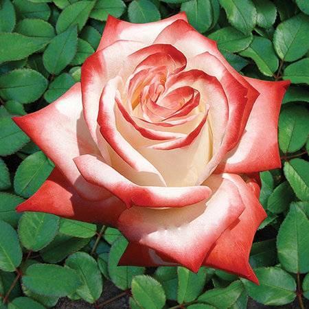 Роза чайно-гибридная шарль де голь - описание, выращивание | о розе
