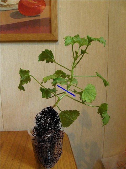Рекомендации как правильно прищипывать герань, чтобы она была здоровой и красиво цвела