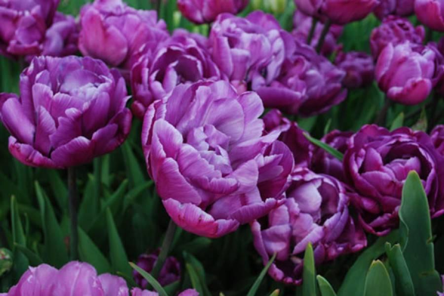 Тюльпаны: махровые сорта цветов, ботанические тюльпаны, синие, голландские