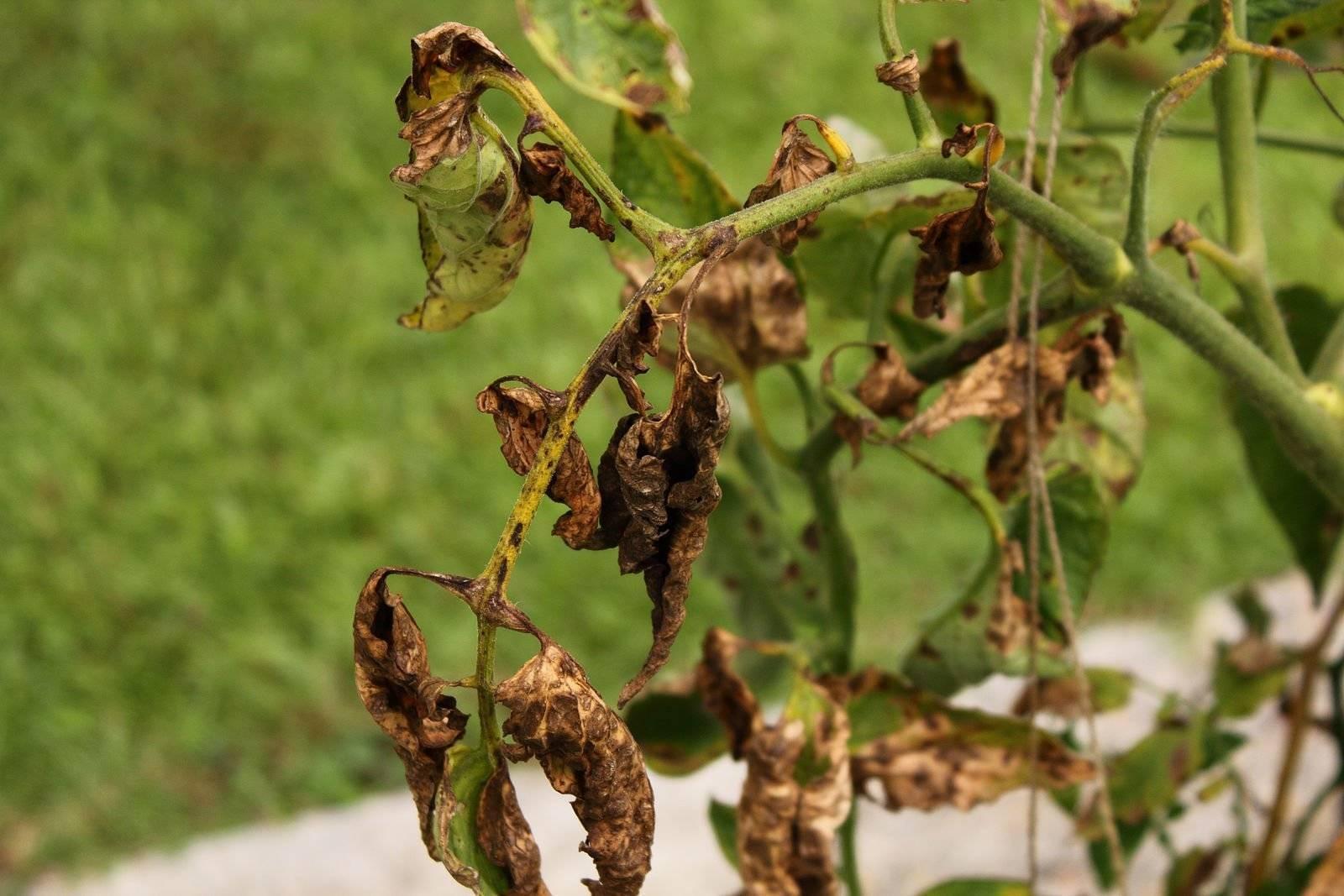 Декабрист вянет: что делать, чтобы спасти растение?