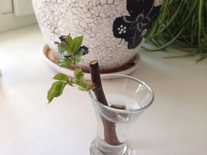 О посадке роз черенками в грунт: как правильно обрезать и сажать черенок