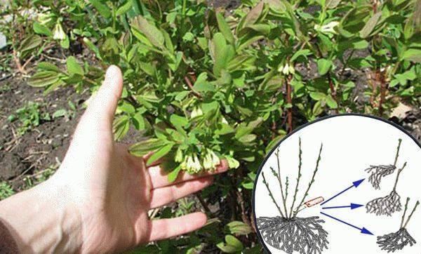 Клематисы: подробное описание укоренения отводками, черенкование осенью