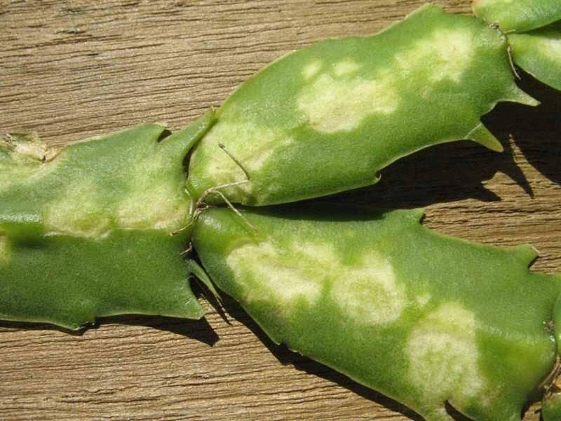 Цветок декабрист: почему листья вялые и мягкие?