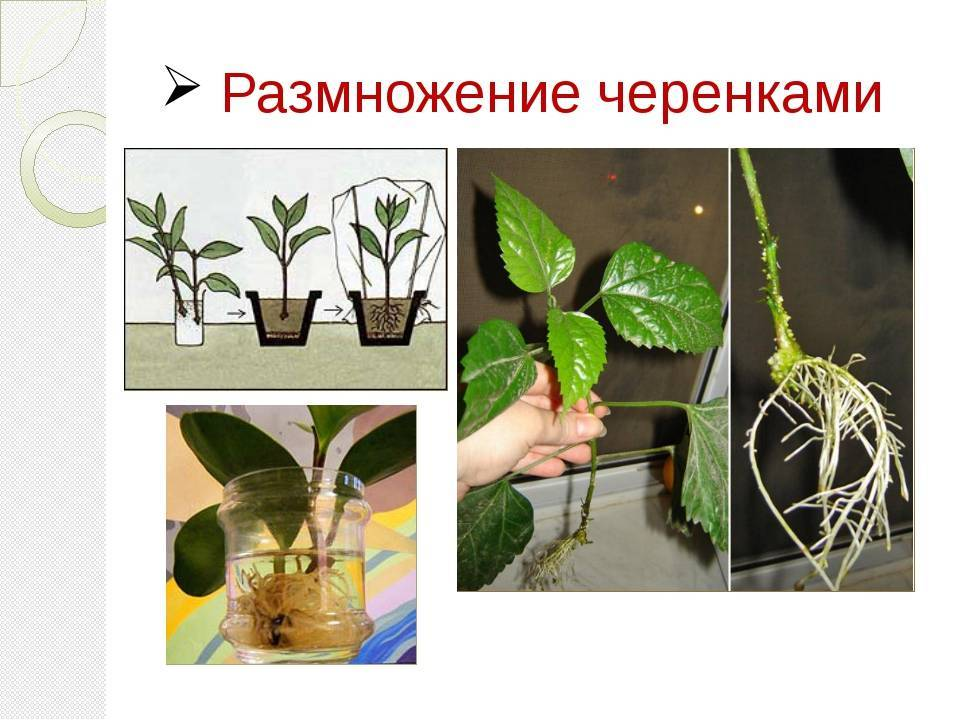 Кислица (оксалис) комнатная: уход в домашних условиях, почему вянут листья
