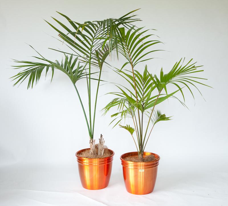 Выращивание пальмы ховеи форстер в домашних условиях