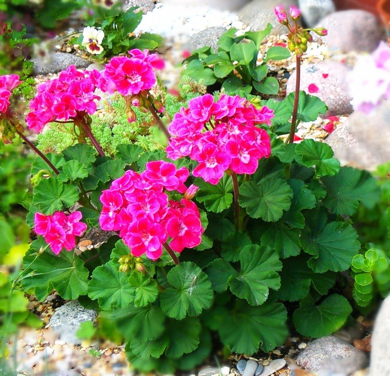 Уход за крупноцветковой пеларгонией (геранью) грандифлора в домашних условиях