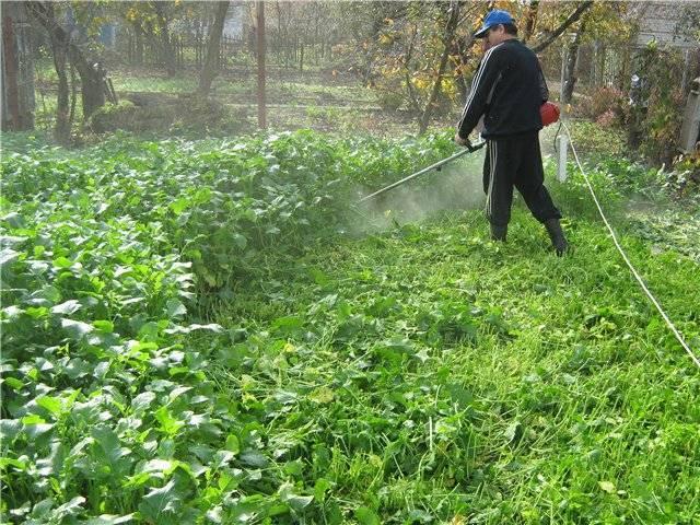 Люпин многолетний — когда высаживать рассаду