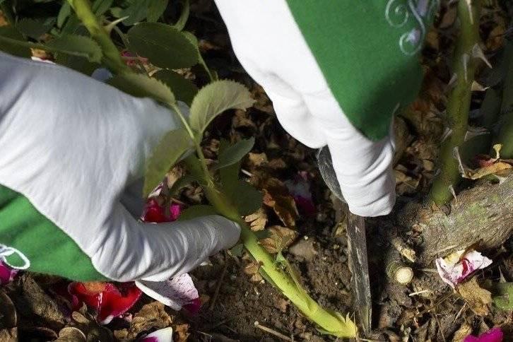 Как розе не дать стать шиповником: причины и профилактика