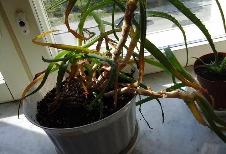 Мадагаскаркая пальма: растение пахиподиум. уход в домашних условиях
