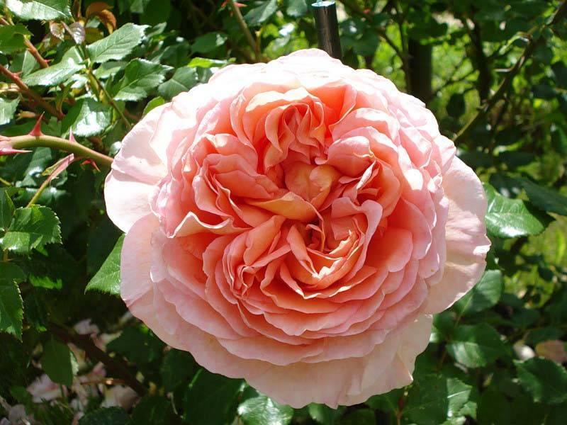 Характеристики и уход за розой абрахам дерби