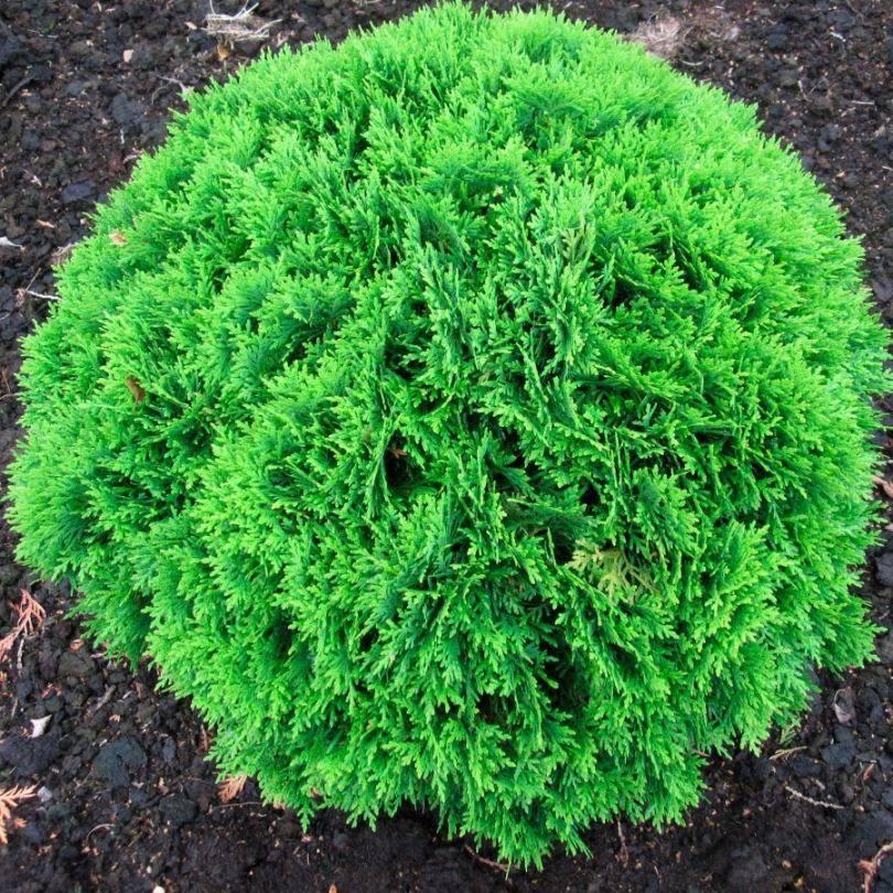 О туе вудварди: описание сорта, как посадить и ухаживать за растением