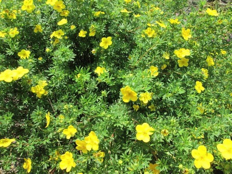 Желтая лапчатка (38 фото): посадка и уход за лапчаткой кустарниковой желтого цвета. болезни и вредители, использование в ландшафтном дизайне