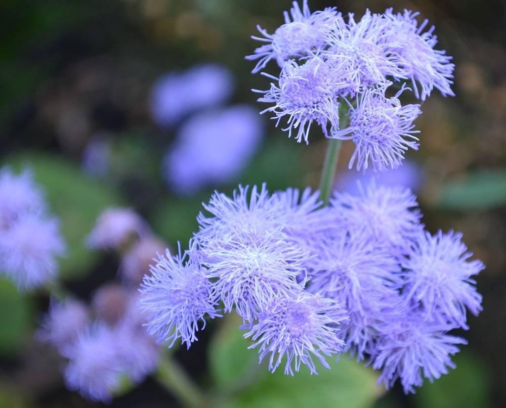 Все о выращивании замечательного цветка — агератума