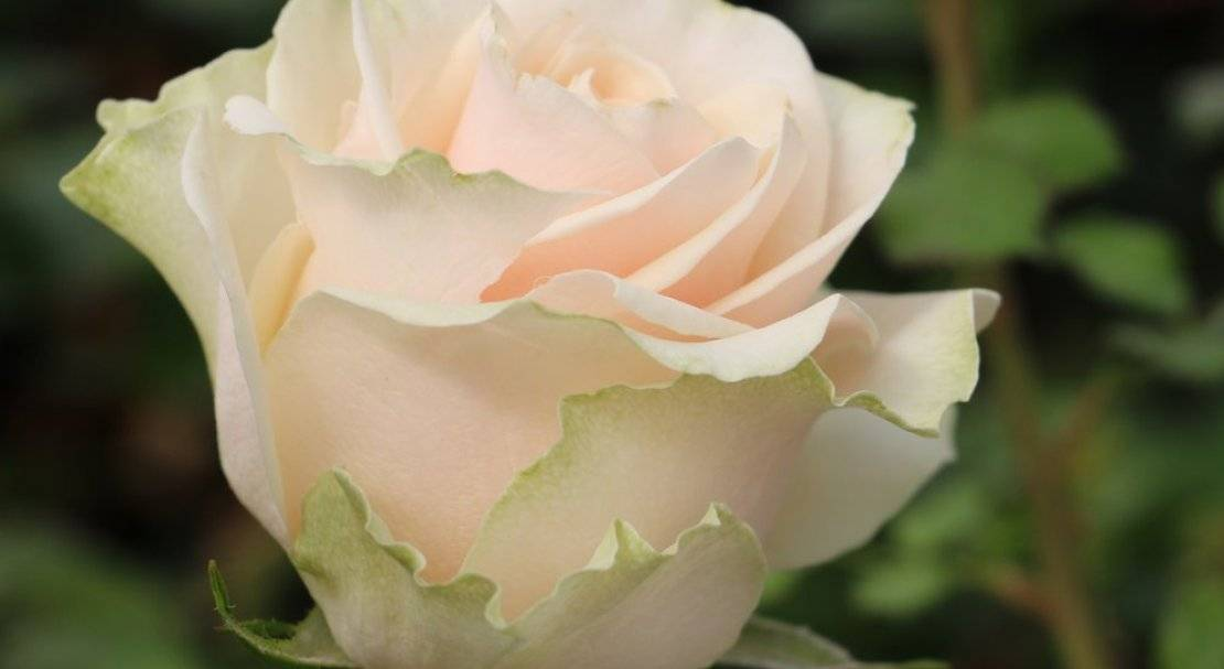 Роза Талея (Talea) — особенности и характеристики цветка