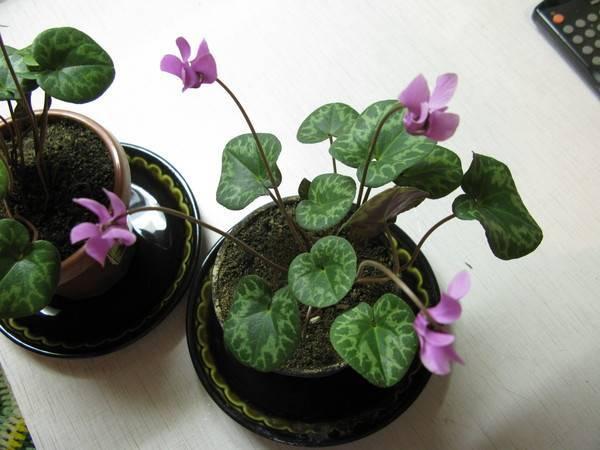 Роскошный цикламен: уход в домашних условиях за многолетним растением с эффектными бутонами и листьями оригинального окраса