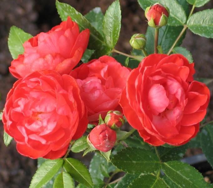 Миниатюрные розы: что это такое - описание и фото сортов, в том числе микс и вит и руд морсдаг, а также правила ухода  за растением в открытом грунте