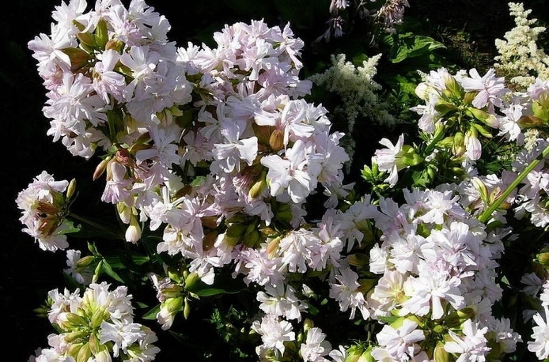 Мыльнянка: выращивание, посадка и уход в открытом грунте