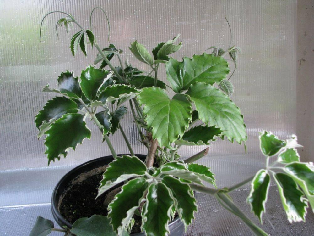 Ирезине — красивое и неприхотливое растение у вас дома или в саду