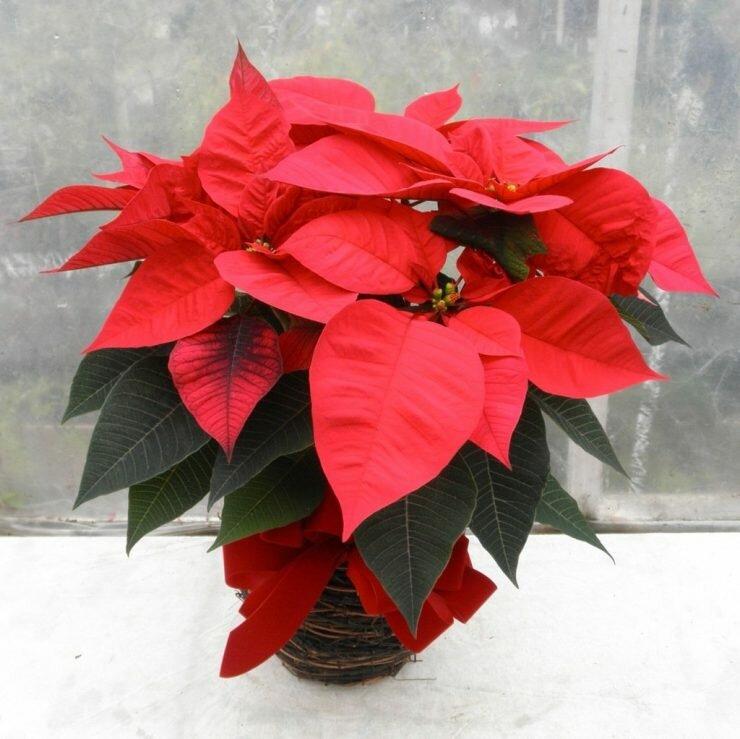 Рождественская звезда — цветок для выращивания в домашних условиях. полив, подкормки, температура, освещение
