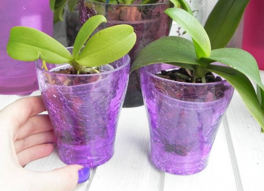 Подготовка к пересадке: как выбрать горшок для орхидеи фаленопсис?