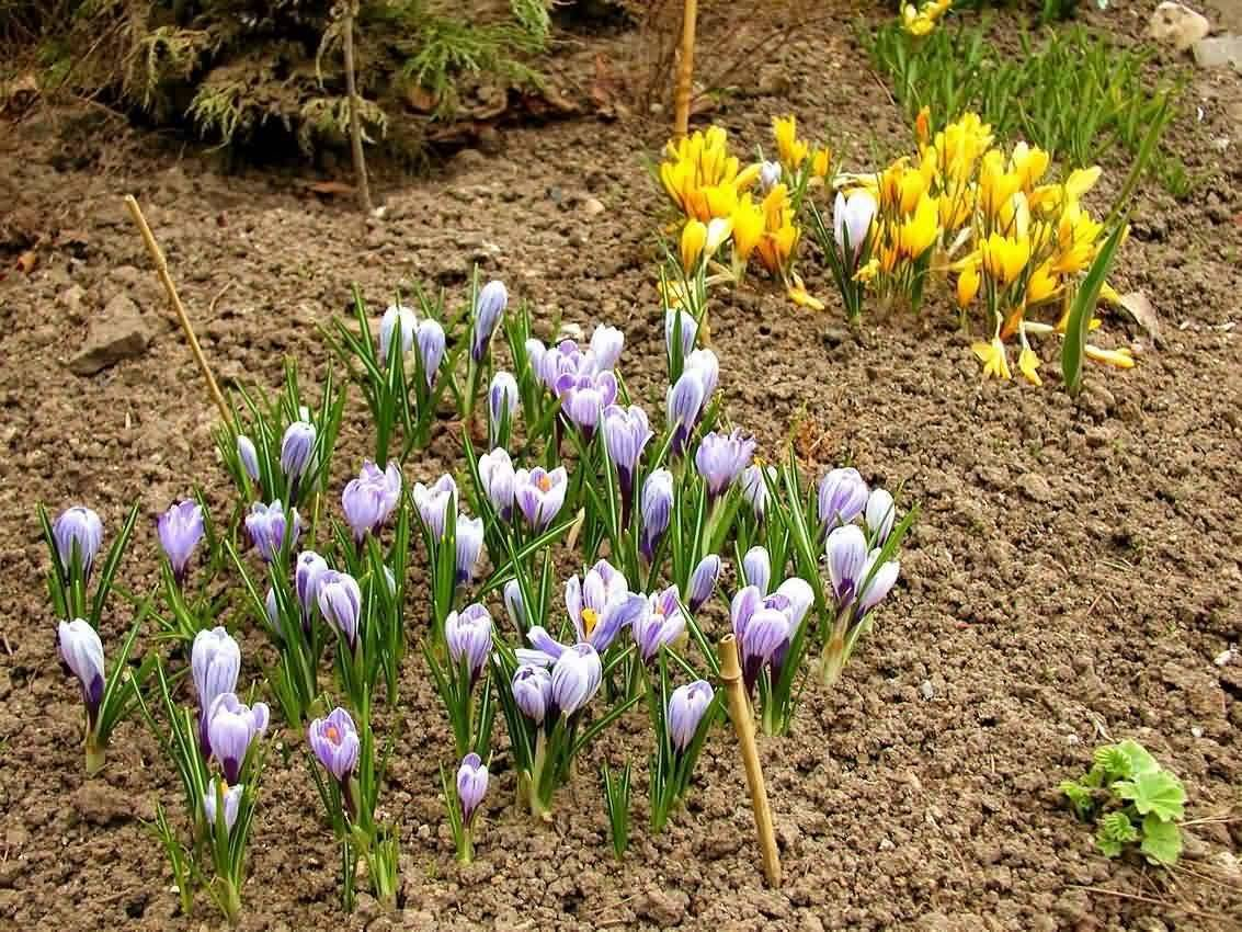 Крокус цветок — разновидности растения для сада