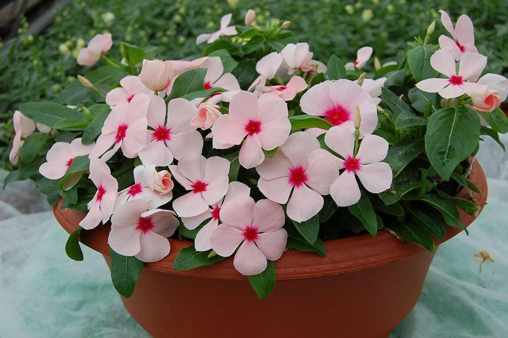 Цветы катаратус: фото цветков, уход и выращивание в домашних условиях, размножение комнатного катарантуса