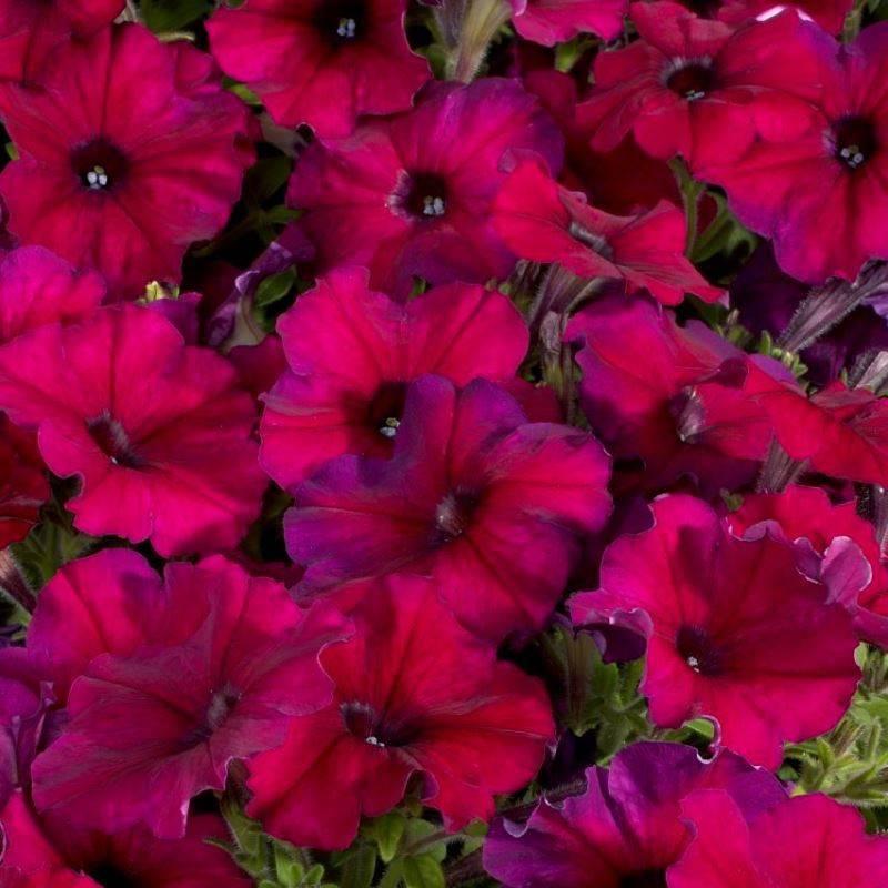 Петунии (petunia): секреты выращивания цветов, виды и сорта цветов