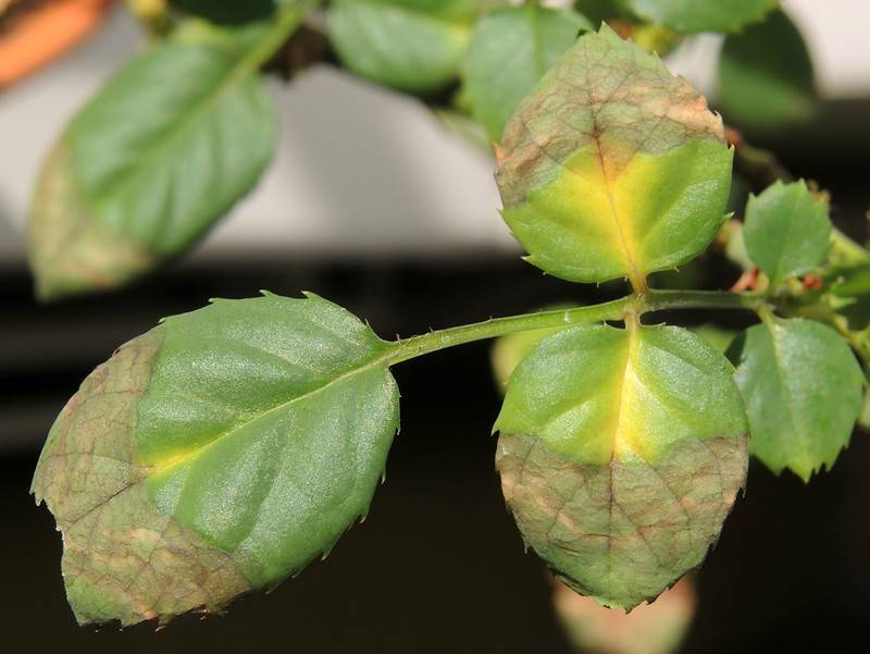 Аспидистра: листья желтеют, сохнут, скручиваются