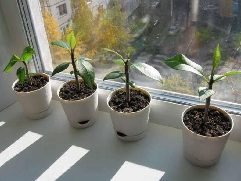Как вырастить плюмерию из семян в домашних условиях: пошаговая инструкция с фото и видео, дальнейший уход за растением