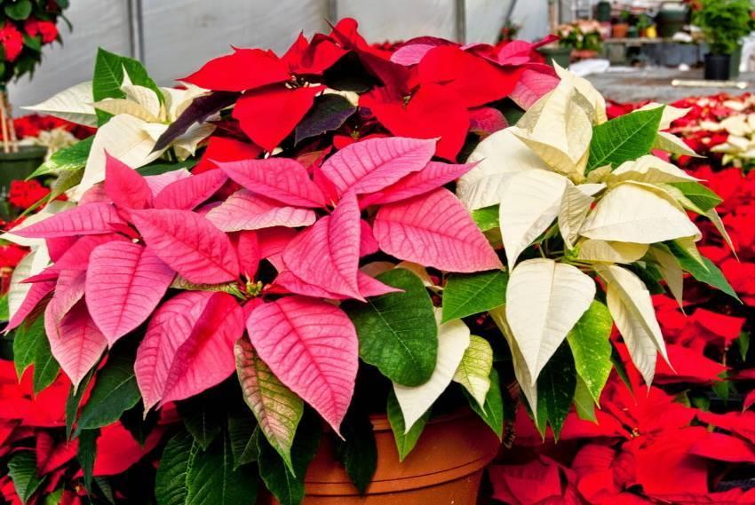 Пуансеттия — главное комнатное растение зимы