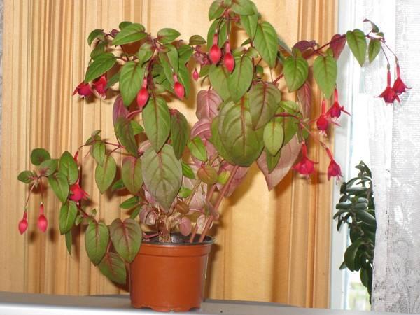 Фуксия - почему у растения желтеют, сохнут и опадают листья. распространенные болезни с фото