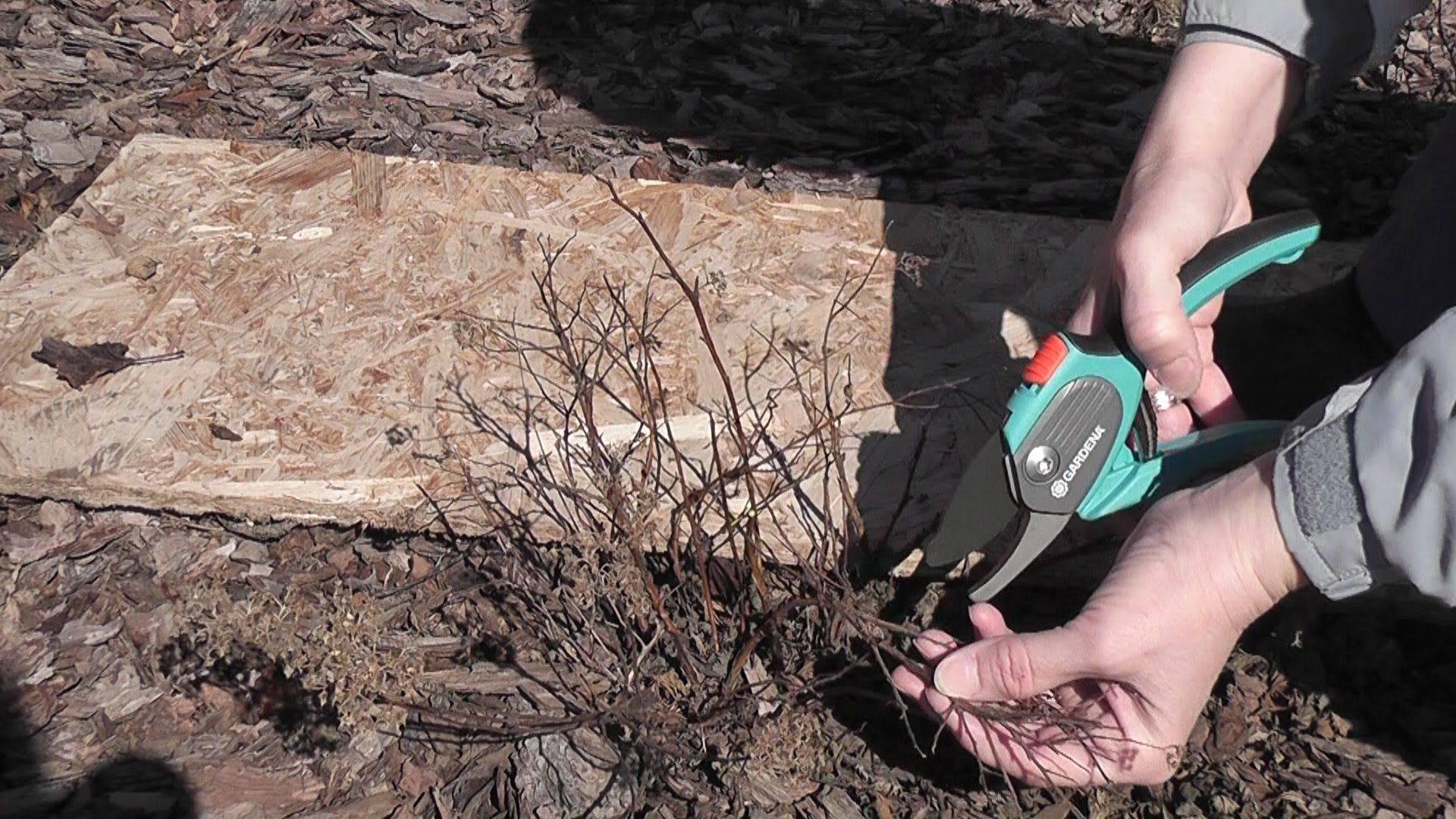 Спирея серая грефшейм: описание сортов с фото, посадка и уход, обрезка, размножение