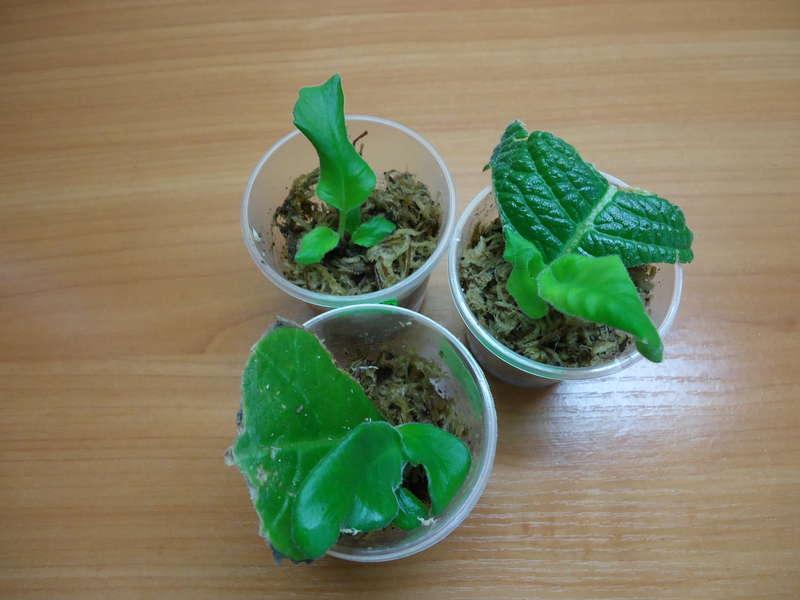 Неприхотливый стрептокарпус: особенности ухода и выращивания в домашних условиях