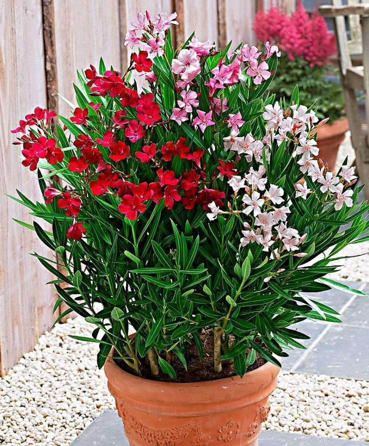 Олеандр - выращивание и уход в домашних условиях, фото цветка