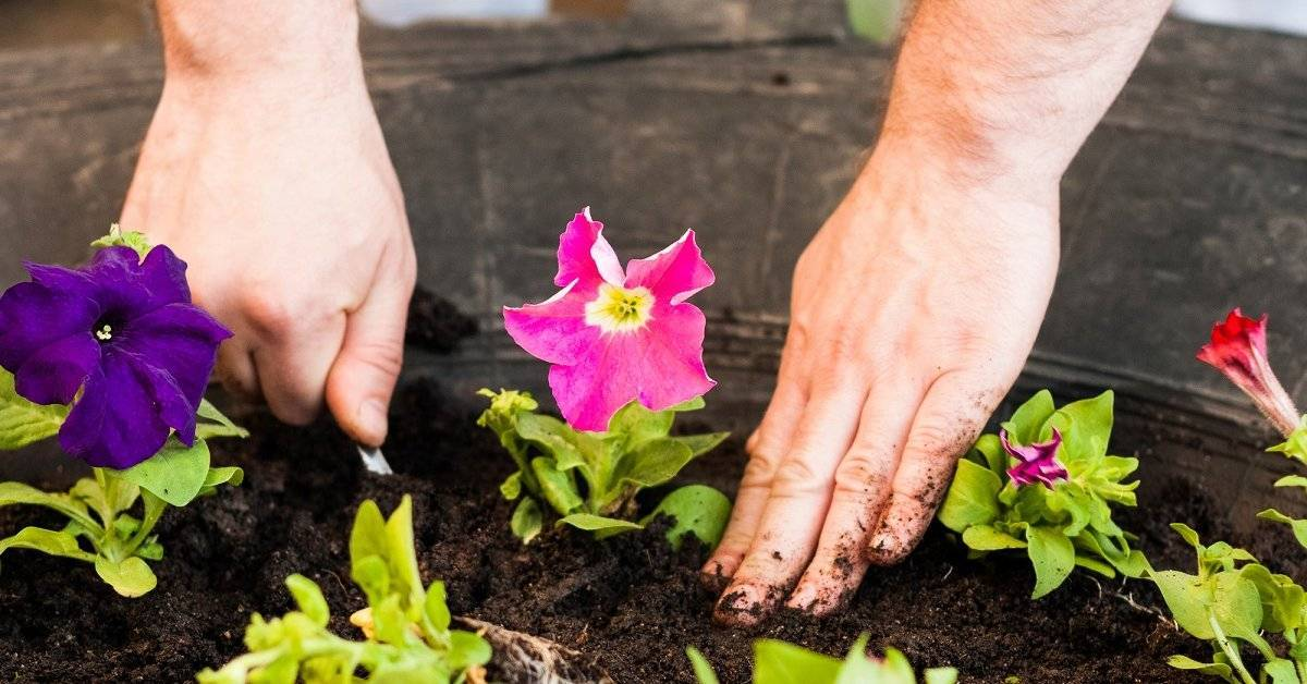 Спараксис: выращивание и уход в саду фото