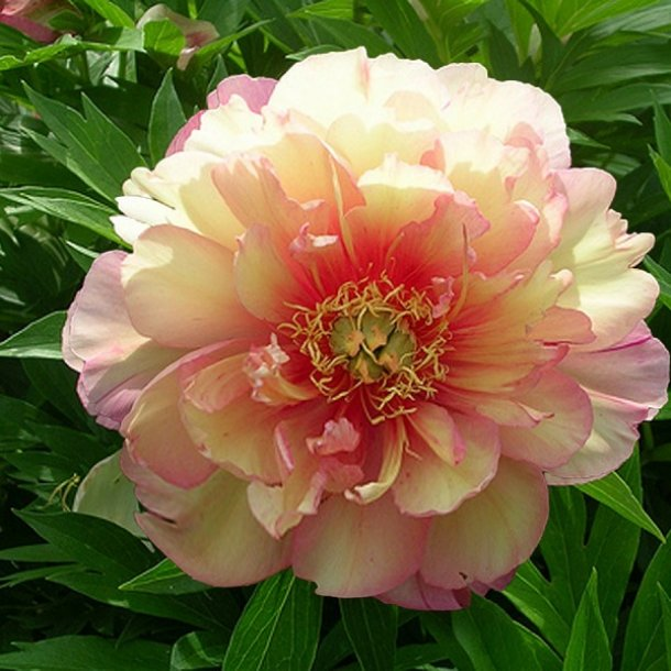 Пион Джулия Роуз (Paeonia Itoh Julia Rose)
