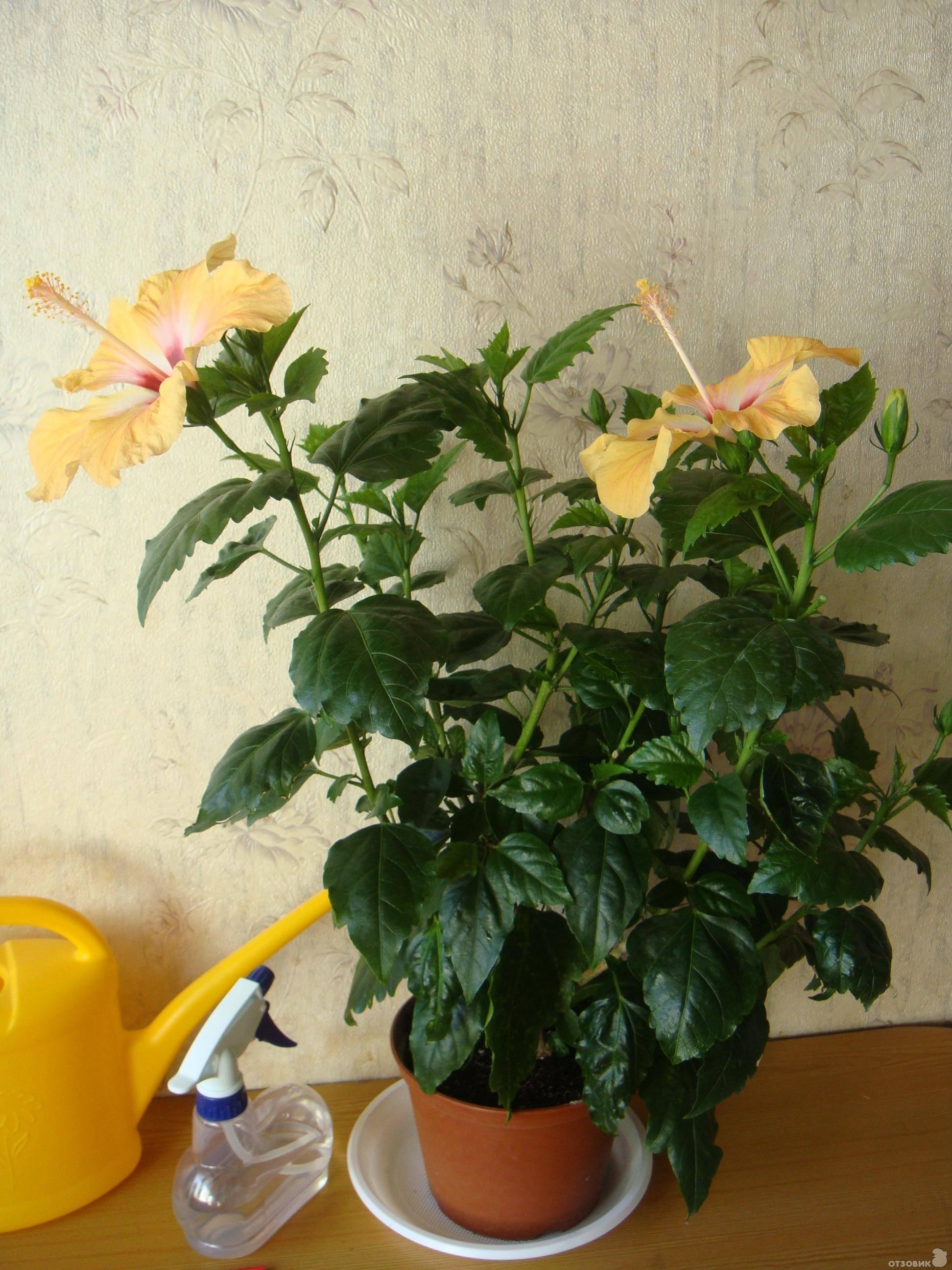 Домашний цветок гибискус: все сорта ифото цветов