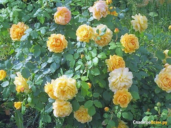 Роза астрид графин фон харденберг - описание сорта и особенности анротехники | о розе