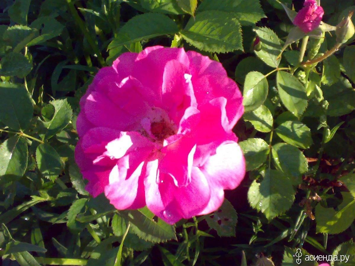 Morden centennial роза отзывы