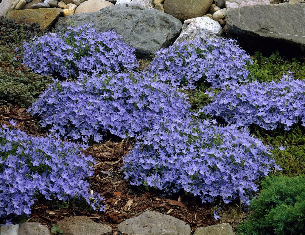 Незабудка (цветы): фото, описание, посадка. цветы, похожие на незабудки