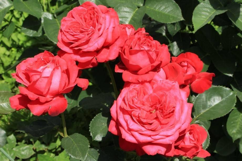 Описание розы флорибунда квин оф хартс: характеристики сортового растения, уход