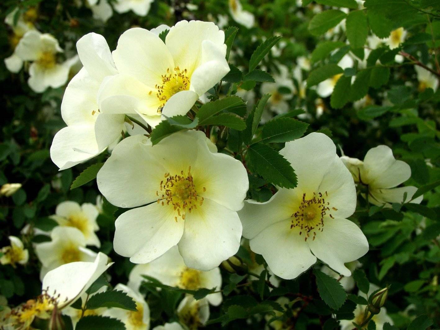 Как отличить розу от шиповника по листьям и другим признакам