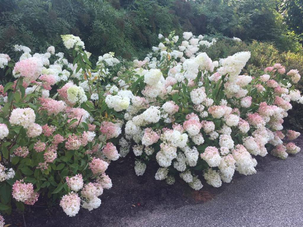 Hydrangea paniculata strawberry blossom