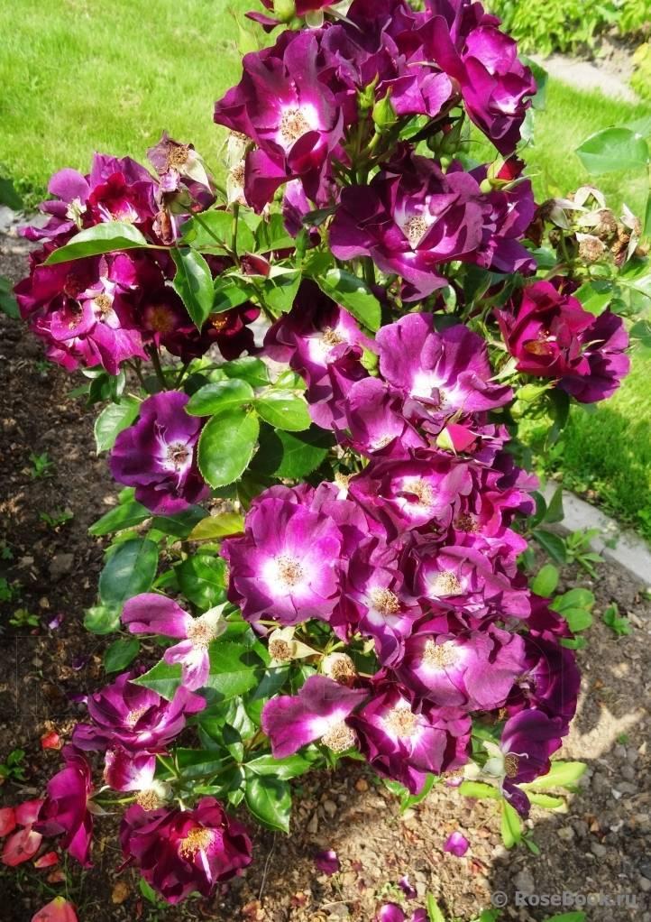 Роза парад (parade) — описание сорта клайминга