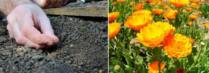 Выращивание кларкии изящной: посадка семян на рассаду и уход в открытом грунте