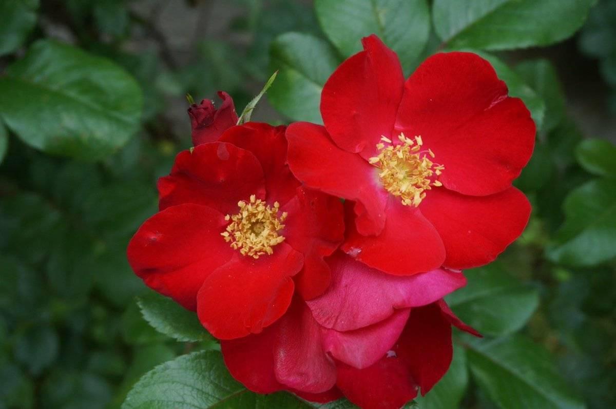 О цветке невеста: комнатное растение кампанула, название жених и невеста